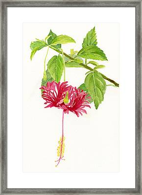 Hibiscus Chinese Red Lantern Framed Print by Sharon Freeman