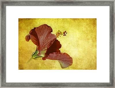 Hibiscus Framed Print by Cyndy Doty