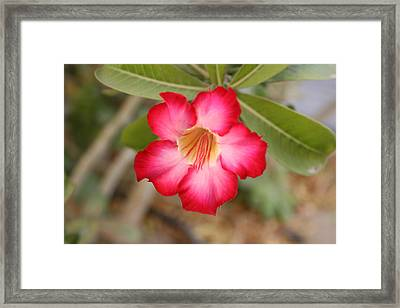 Hibiscus Flower Framed Print by Maeve O Connell
