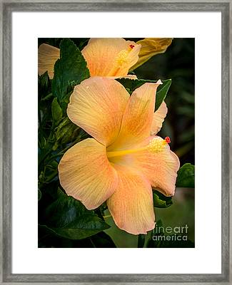 Hibiscus Flower Framed Print by Zina Stromberg