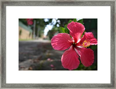 Hibiscus Framed Print by Frederico Borges