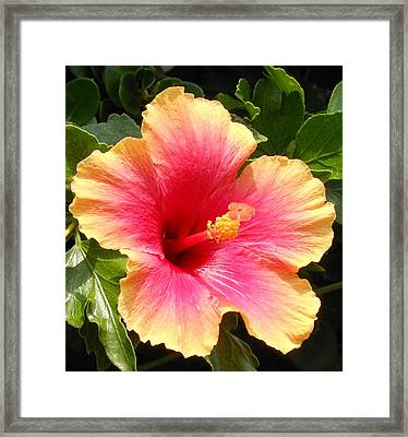 Hibiscus Framed Print by Kay Gilley