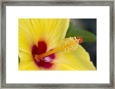 Framed Print featuring the photograph Hibiscus Macro by Robert Camp