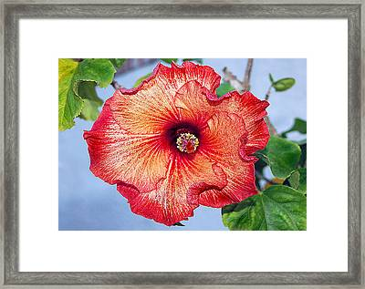 Hibiscus - Mahogany Star Flower Framed Print by Donna Proctor