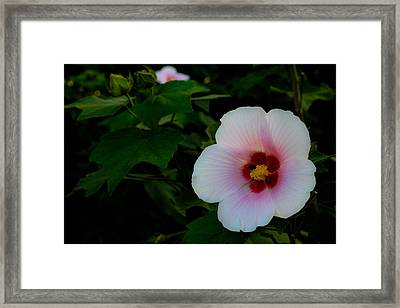 Hibiscus Mutabilis Flower Framed Print by Donald Chen