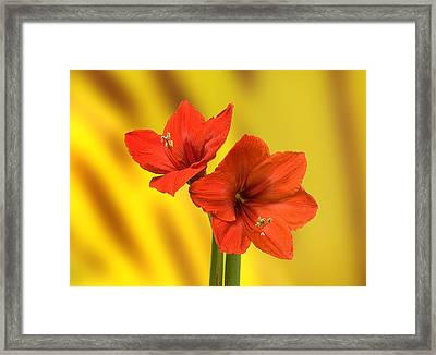 Hibiscus Red Framed Print by Bob Mulligan