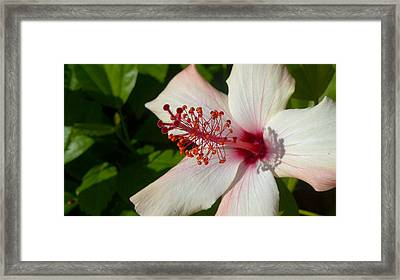 Framed Print featuring the photograph Hibiscus by Richard Stephen