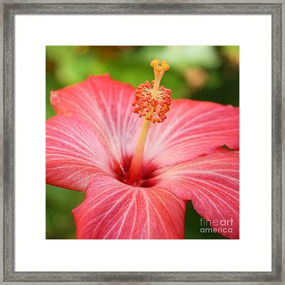 Hibiscus - Square Framed Print by Carol Groenen
