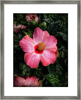 Hibiscus Sunset Framed Print