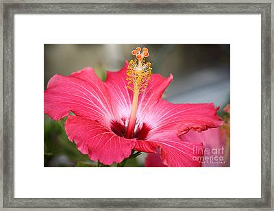 Framed Print featuring the photograph Hibiscus by Todd Blanchard