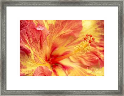 Hibiscus Framed Print by Tony Cordoza