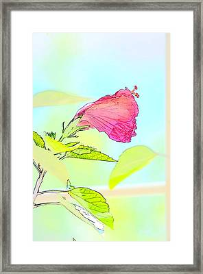 Hibiscus Unbloomed Framed Print by Cathy Shiflett