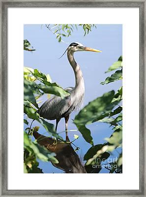 Hidden Great Blue Heron Framed Print