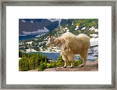Framed Print featuring the photograph Hidden Lake Goat by Aaron Whittemore