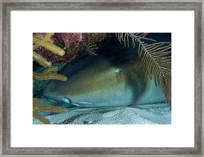 Hiding  Framed Print by Aaron Whittemore