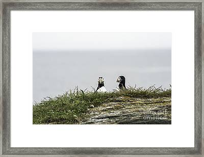 Hiding Puffins Framed Print by Jim  Hatch