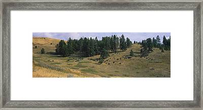High Angle View Of Bisons Grazing Framed Print