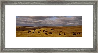 High Angle View Of Buffaloes Grazing Framed Print by Panoramic Images