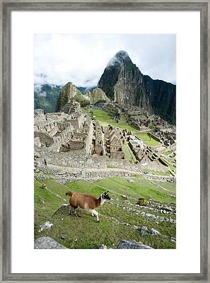 High Angle View Of Llama Lama Glama Framed Print by Panoramic Images