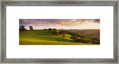 High Angle View Of Sheep Grazing Framed Print