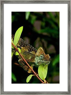 High-casque Chameleon, Trioceros Framed Print by David Northcott