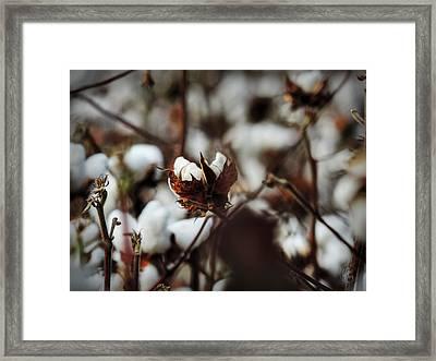 High Cotton 003  Framed Print