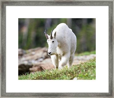 Framed Print featuring the photograph High Country Mountain Goat by Jack Bell