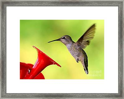 High Flying Hummingbird Framed Print by Carol Groenen