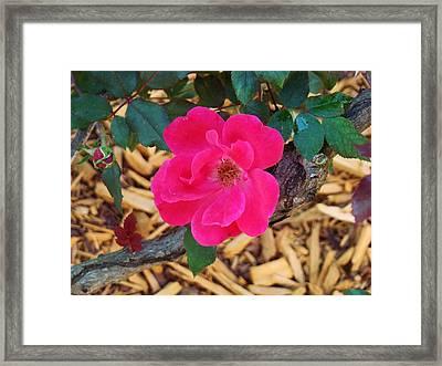 High Intensity Red Rose Framed Print by Van Ness
