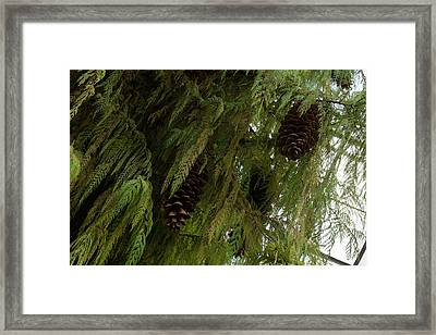 High Key Christmas Greenery With Giant Sugar Pine Cones Framed Print