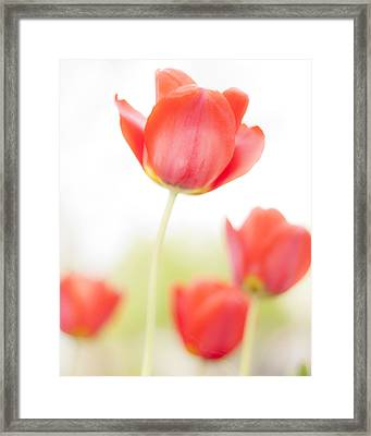 High Key Tulips Framed Print by Adam Romanowicz