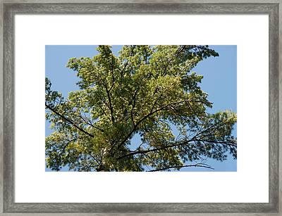 High Pine Framed Print by Joseph Yarbrough