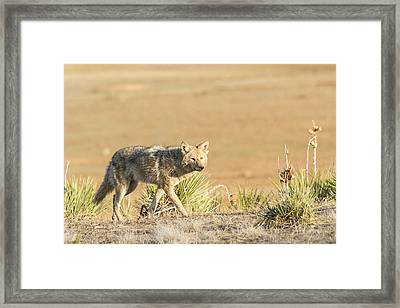 High Plains Coyote At Sunset Framed Print by Adam Pender