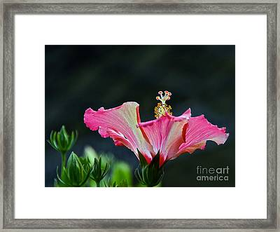 High Speed Hibiscus Flower Framed Print
