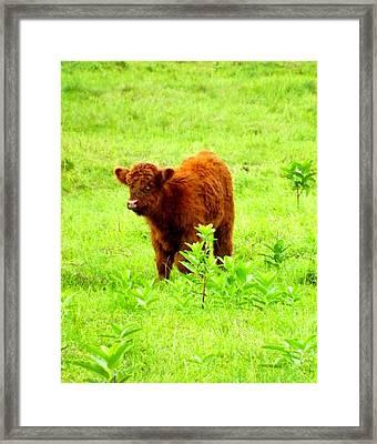 Highland Calf Framed Print by Dancingfire Brenda Morrell