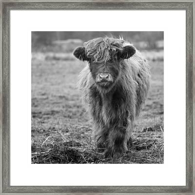 Highland Calf Framed Print by Sonya Lang