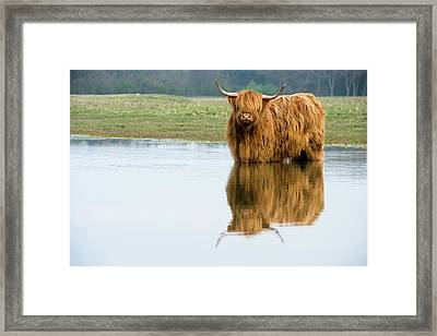 Highland Cattle Framed Print by Duncan Shaw