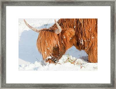 Highland Cattle Grazing Framed Print by Ashley Cooper