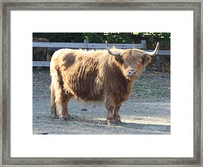 Highland Cattle Framed Print by John Telfer