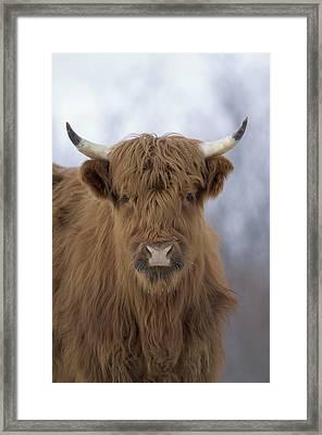 Highland Cattle Kodiak Island Alaska Framed Print