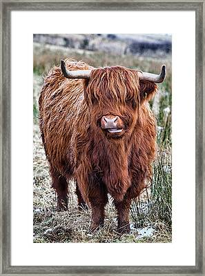 Highland Coo Framed Print by John Farnan