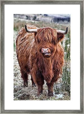 Highland Coo Framed Print