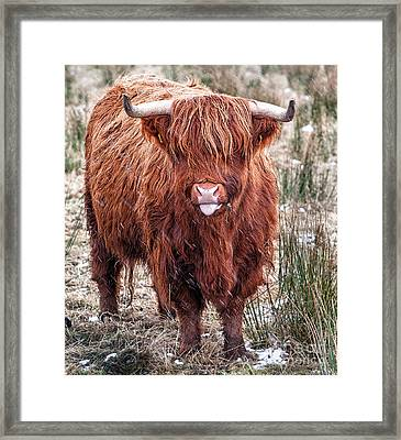 Highland Coo With Tongue Out Framed Print by John Farnan