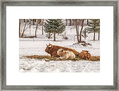 Highland Cow With Calves Framed Print