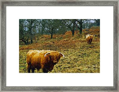 Framed Print featuring the photograph Highland Cows Landscape by Cassandra Buckley