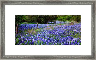 Hill Country Heaven - Texas Bluebonnets Wildflowers Landscape Fence Flowers Framed Print by Jon Holiday
