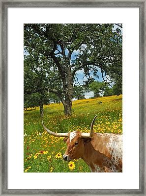 Hill Country Longhorn Framed Print by Robert Anschutz