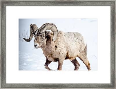 Big Horns On This Big Horn Sheep Framed Print