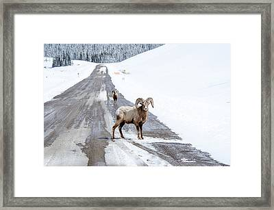On The Road Again Big Horn Sheep  Framed Print