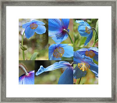 Himalayan Blue Poppy Collage Framed Print by Jennie Marie Schell